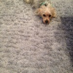 Evanston-Dog-carpet-clean