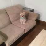 Evanston-Sofa-Pet-Stain-Cleaning